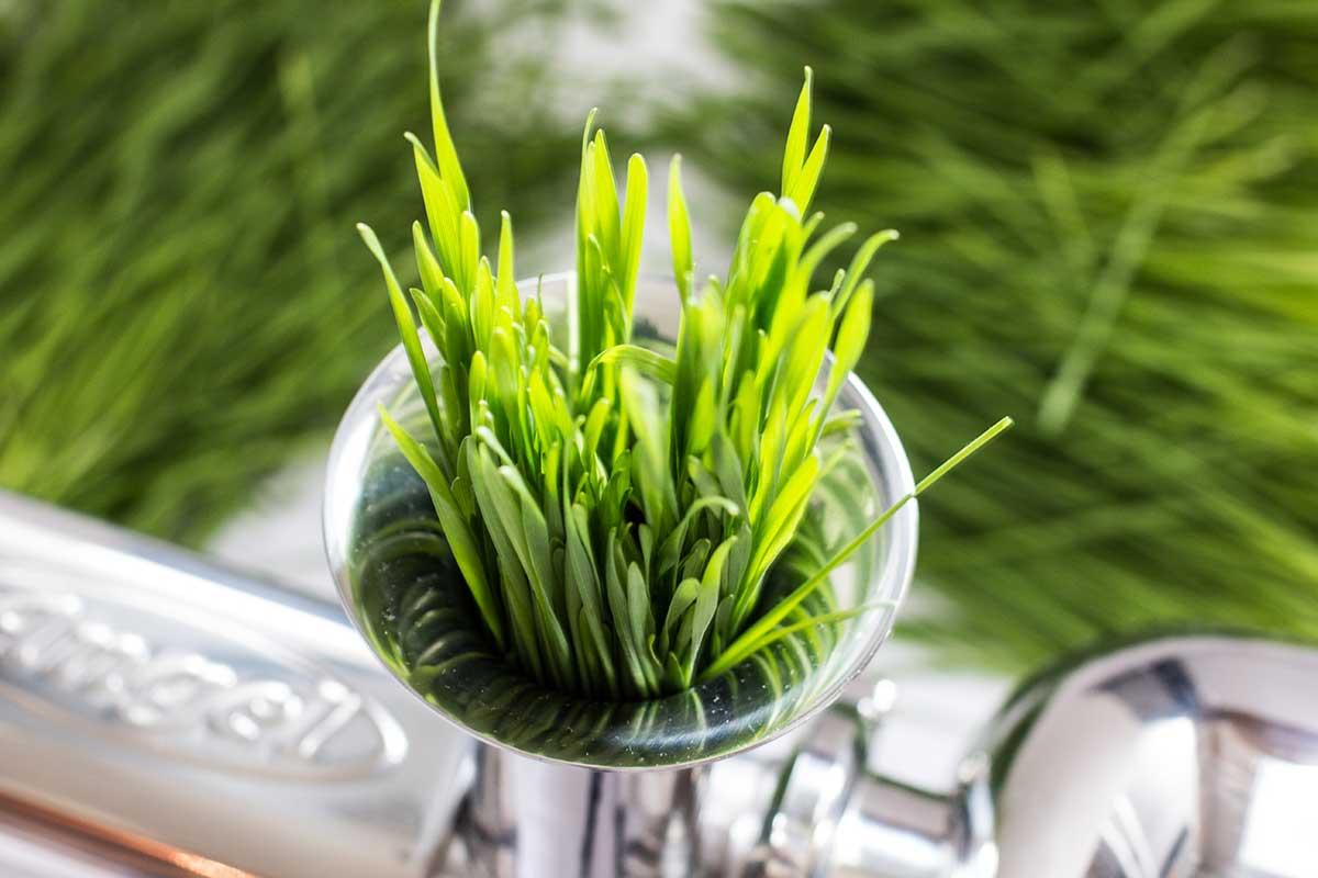 Weizengras selber ziehen